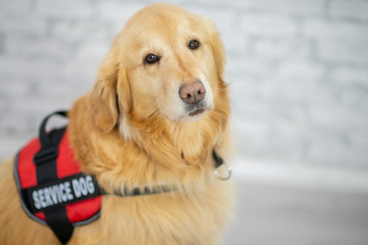 "A service dog sitting in a public area. The golden retriever is wearing a service dog harness that has the phrase ""Service Dog"" printed on it."