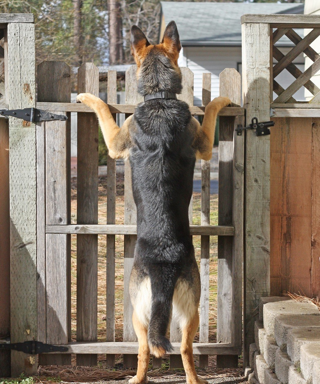 Female German Shepherd standing and looking out on the neighborhood from her fenced yard.
